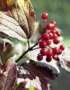 Калина красная, старинное лечебное средство. О ее целебых свойствах написана не одна книга.