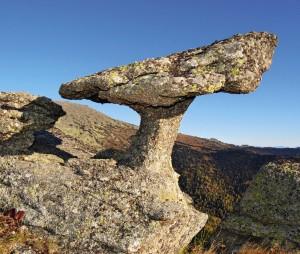 Этот гриб вырос в Тигирекском заповеднике сам по себе.