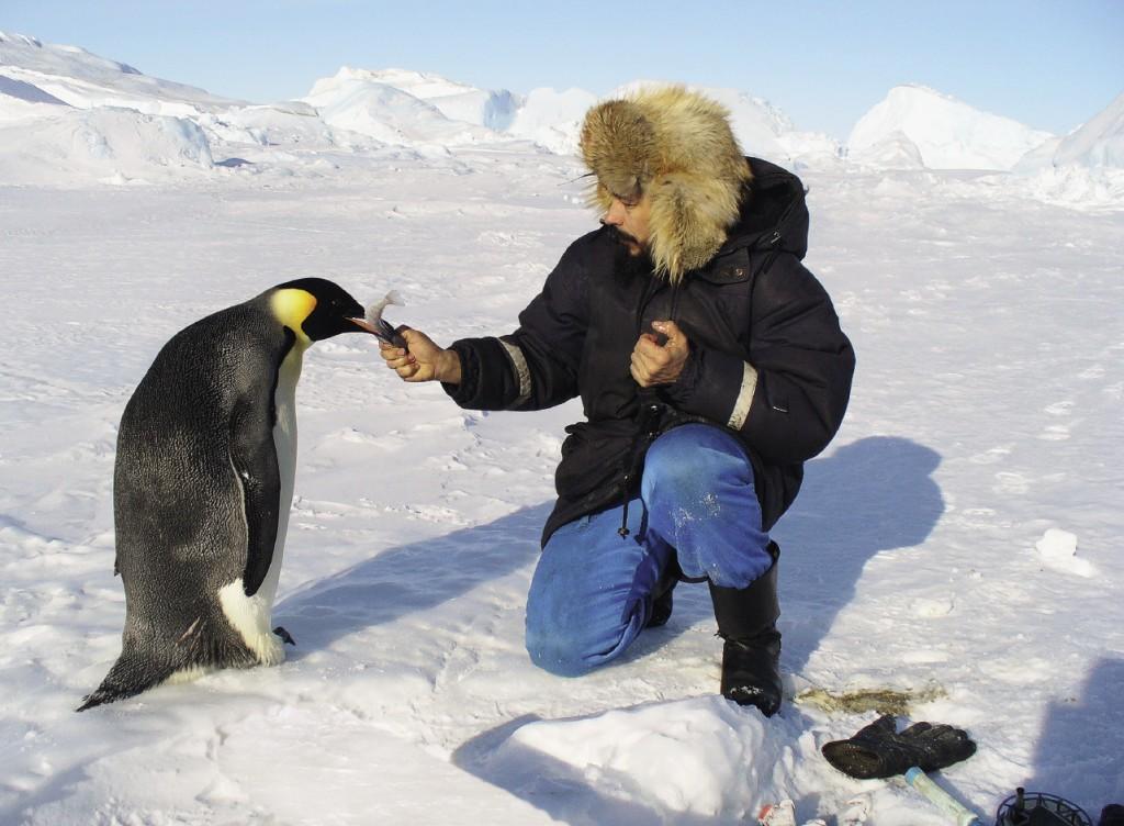 Петр Никитин сам любит кормить рыбой императорских пингвинов.