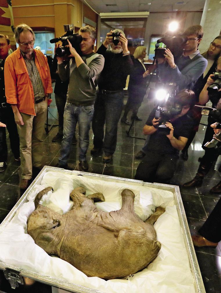 Мумия сибирского мамонтенка Любы в Дарвиновском музее.