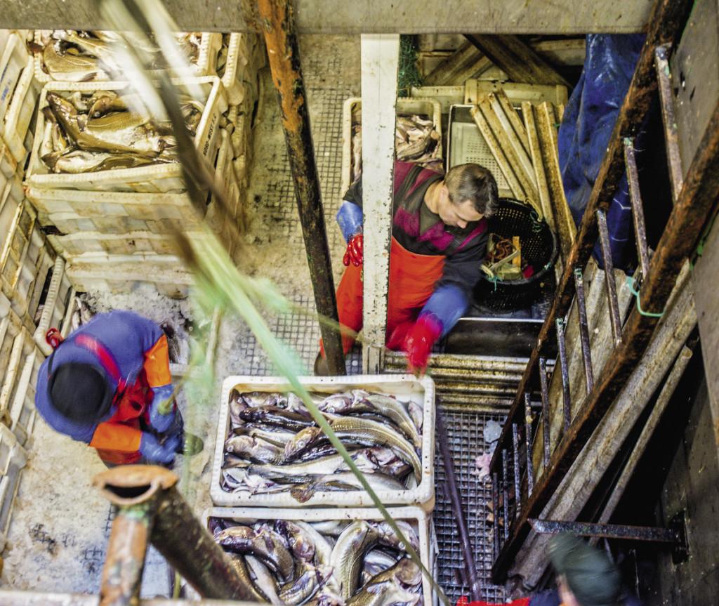 Рыбаки выгружают улов трески и пикши из чрева корабля. Вся рыба отправляется на рыбзавод, который находится возле причала.