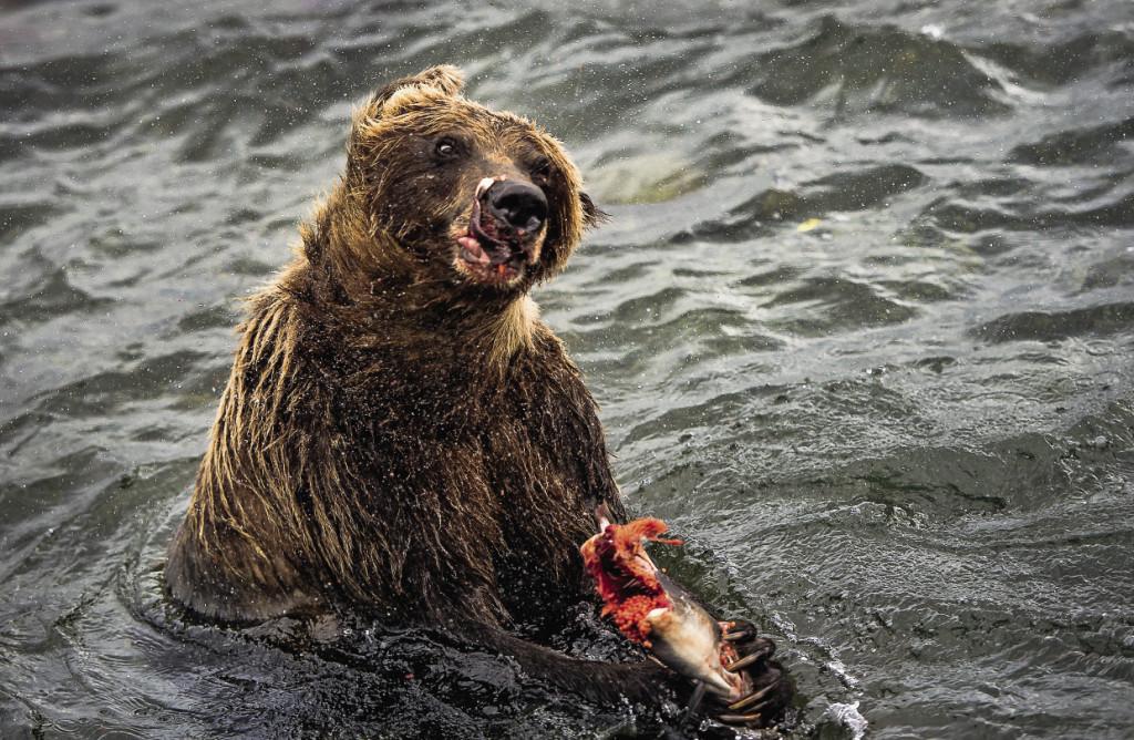 Медведям на Камчатке – настоящее раздолье.