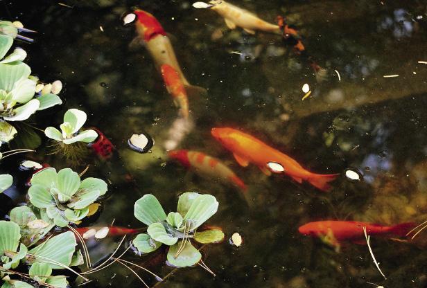 В пруду парка плавают золотые рыбки.