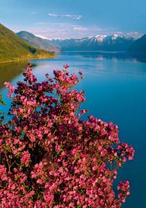 Алтай. Телецкое озеро. Весна. Цветение маральника