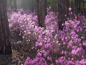 лес цветы байкал