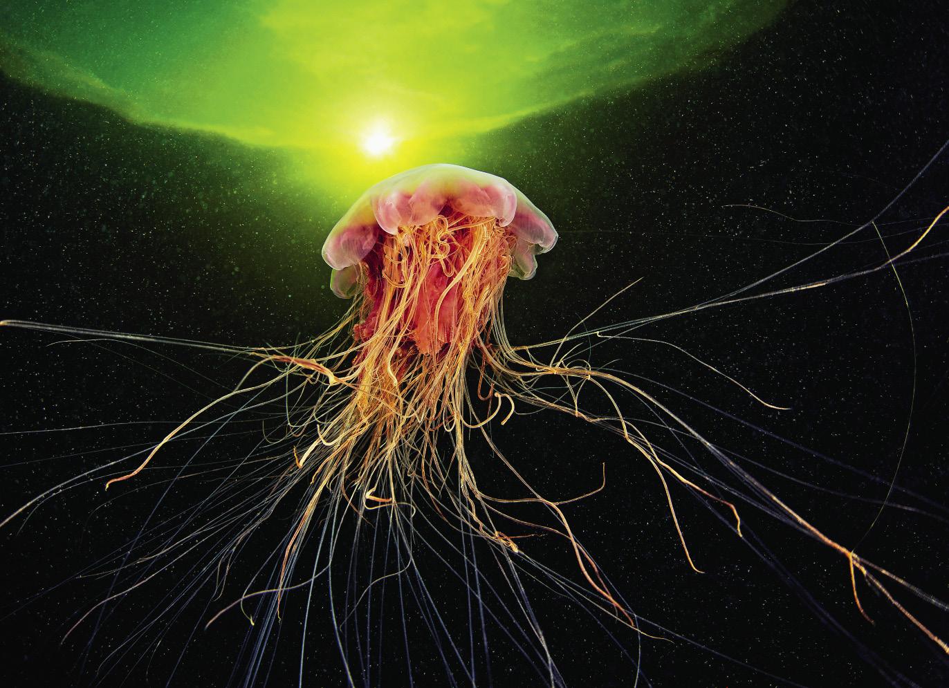 Cyanea capillata 25_opt