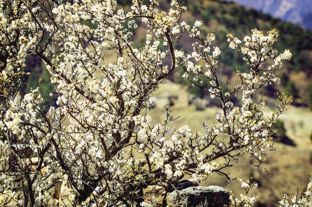 Один из видов обыкновенной сурепки, которая встречается и в средней полосе России. Но цветет она здесь необыкновенно… Республика Ингушетия