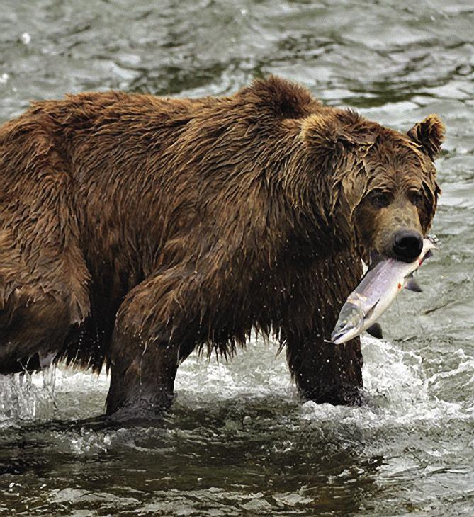 Медведи на Камчатке выдавливают икру из рыбы, а саму рыбу выбрасывают. Камчатка