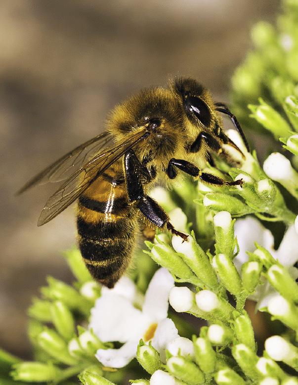 Пчелы каждый день летают в горы и на луга к пестрому алтайскому разнотравью.