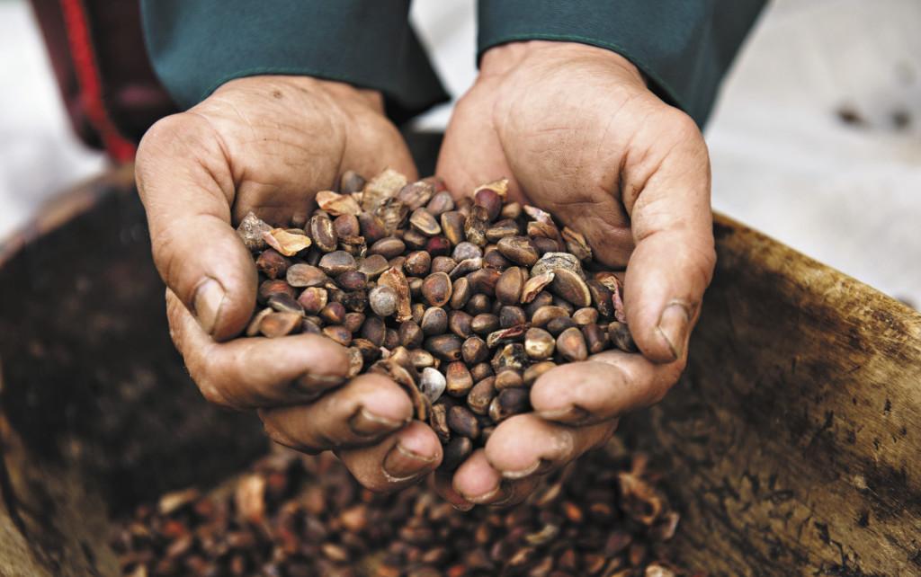 Кумандинцы до сих пор живут лесом, где собирают кедровые орехи, ягоды, грибы и целебные травы.  Алтайский край