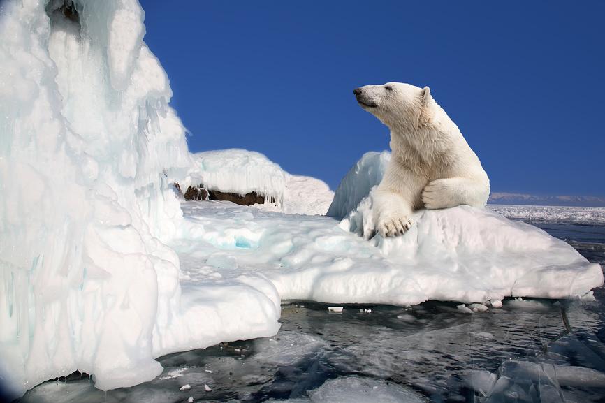 медведь . арктика