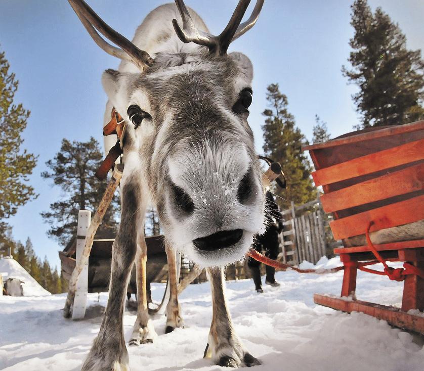 В Новый год северный олень приглашает вас прокатиться в санях.