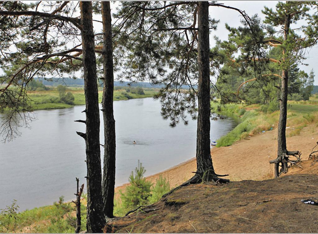 Северные сосны крепко держатся корнями за отвесный берег реки Мологи.