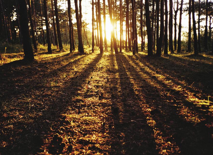 Больше половины лесов Куршской косы – сосновые, львиная доля их посажена людьми.