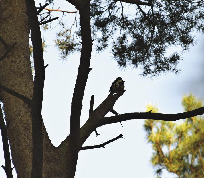 Из птиц наиболее многочисленны воробьинообразные: зяблики, пеночки, славки.