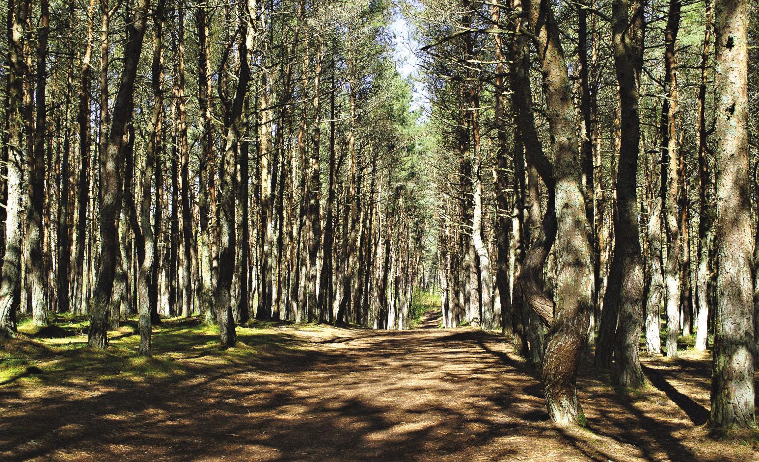 Таинственный Танцующий лес – маленький участок сосняка, высаженный на дюне Круглой в 1960-х.