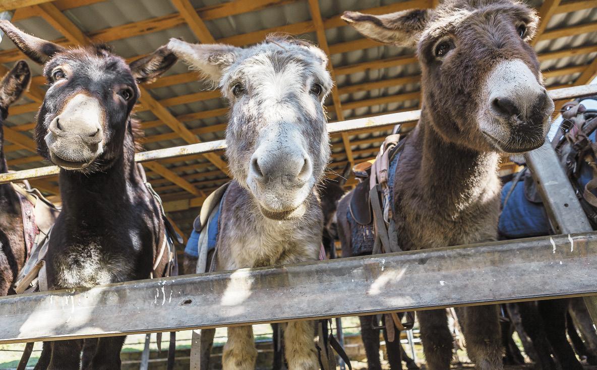 На ослиной ферме каждый может подоить ослицу и попробовать её молоко.