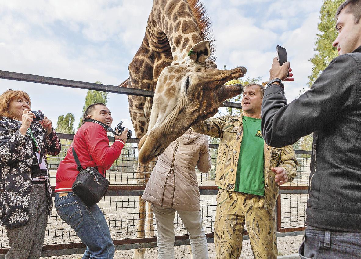 Большой жираф в парке «Тайган» любит своего директора Олега Зубкова.