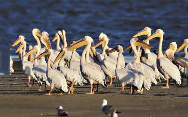 Пеликаны на озере Маныч-Гудило чувствуют себя будто на африканском водоеме.