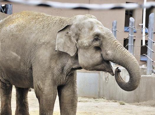 В просторном вольере живут 3 азиатских слона – самые крупные млекопитающие на Земле.