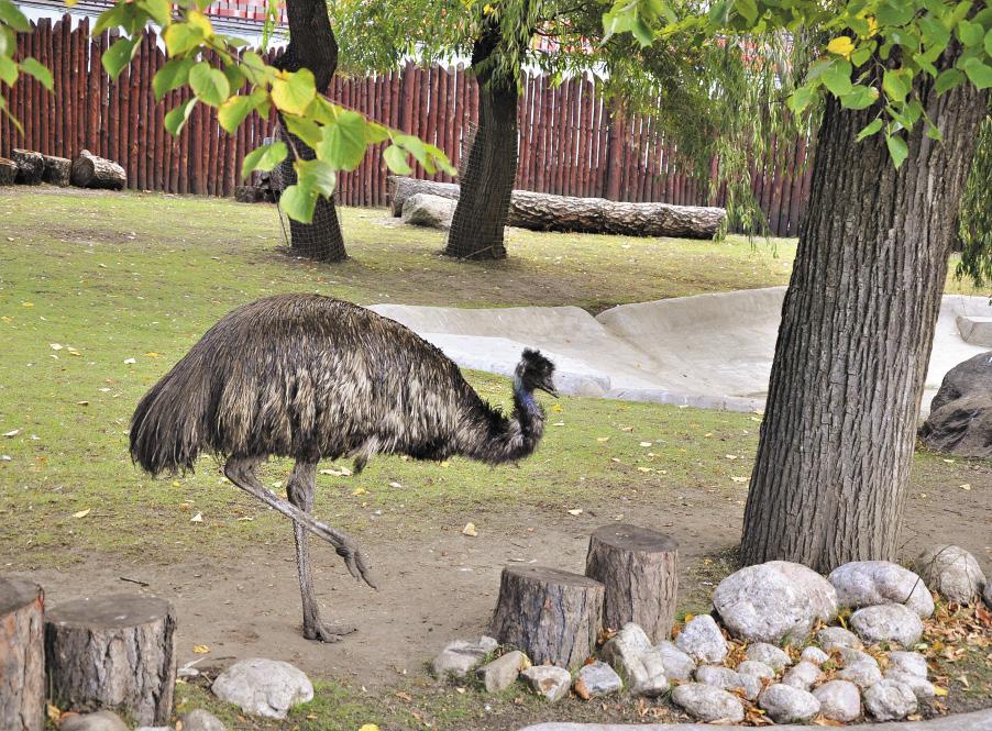 Эму похож на страуса, но это совершенно разные птицы. Масса птицы 50 кг. Распространен в Австралии.
