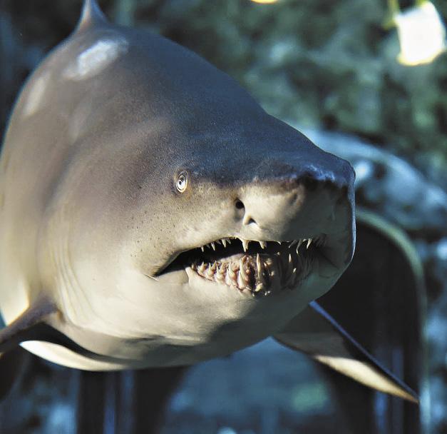 Песчаная тигровая акула.