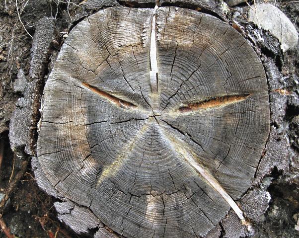 Местные деревья хранят тайны давних времен.