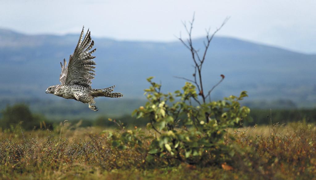Кречет – самый крупный из соколов – занесен в Красную книгу России. Его популяция стремительно сокращается из-за браконьерского отлова. Цена таких птиц на черном рынке может достигать нескольких десятков тысяч долларов США.