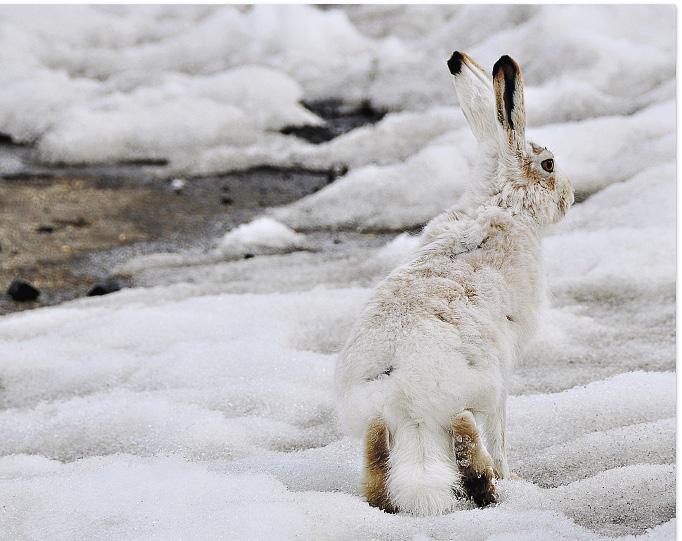 Заяц-русак – не такая уж редкая «птица» на Селигере. Вдали от мегаполисов можно увидеть множество диких животных.