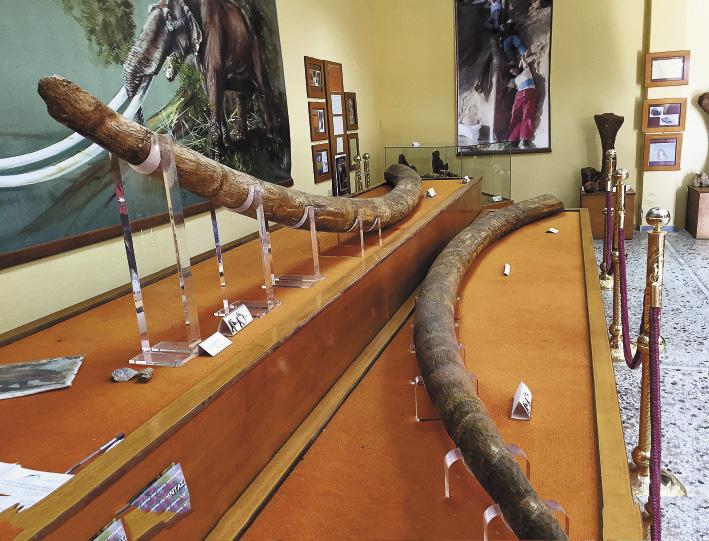 Этим 5-метровым бивням древних слонов около 2 млн лет.