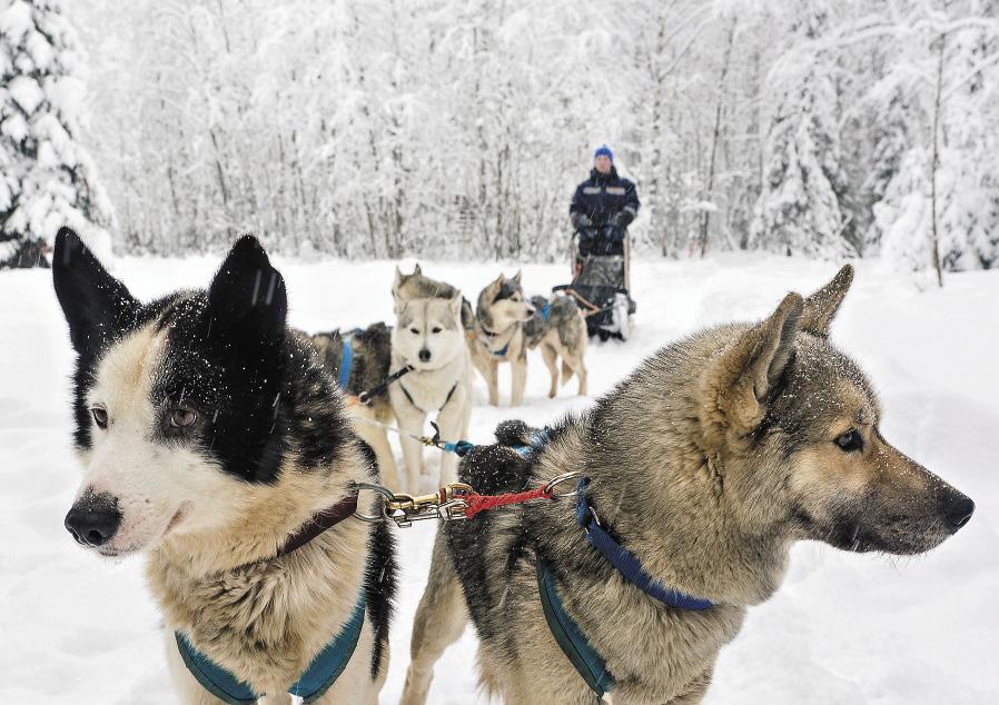 Катание на собачьих упряжках по заснеженной Карелии – одно из самых веселых развлечений в зимний сезон.