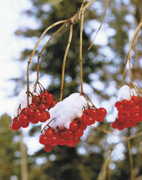 На тропе лыжников встречают заснеженные сосны и колоритные гроздья рябины.