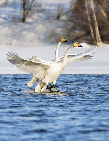 В Алтайский край на зимовку ежегодно прилетают 500 лебедей-кликунов.