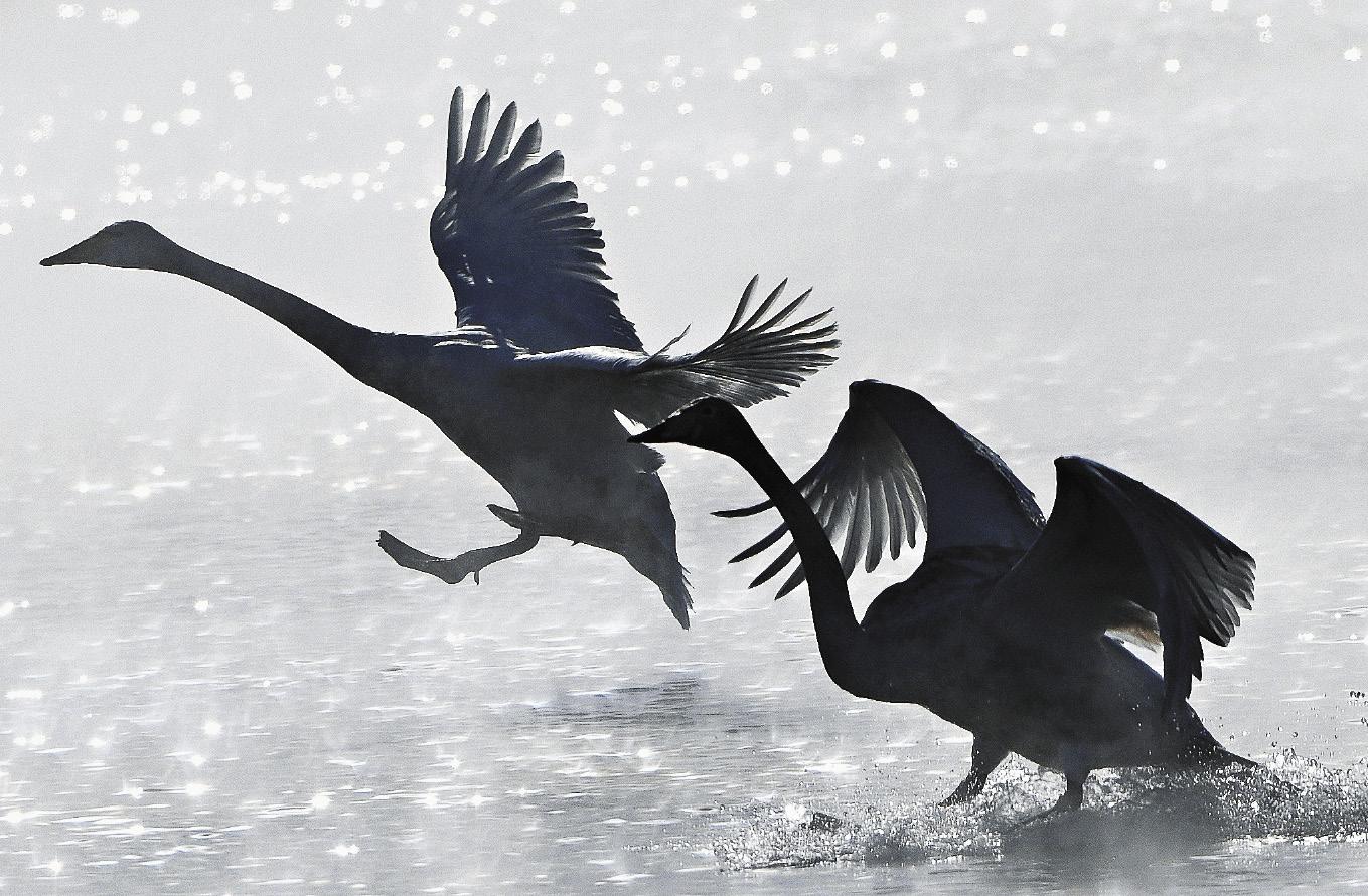 Всю зиму птицы чувствуют себя вольготно. Люди заботятся о птицах уже несколько десятков лет, обеспечивая им комфортное существование в условиях Западной Сибири.