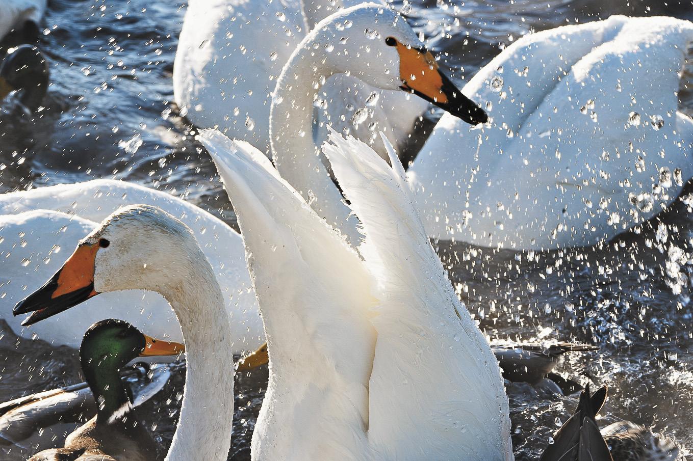 Каждую зиму белокрылые съедают около 20 тонн специального корма, который ежегодно заготавливают смотрители заповедника. Лебедей потчуют овсом, горохом и пшеницей – такая зерносмесь позволит поддержать иммунитет птиц на время морозов.