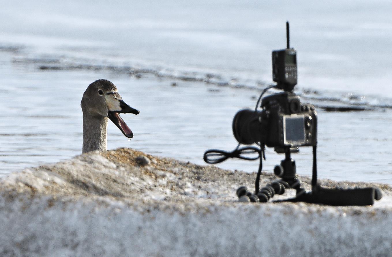 Лебеди-кликуны очень общительны: подплывают к берегу, дают себя фотографировать, а иногда даже гладить.