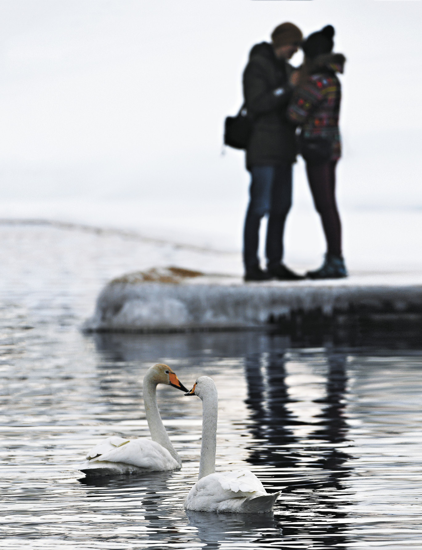 Лебеди-кликуны моногамны: птицы образуют пары на всю жизнь, причем повторный «брак» особи возможен только в случае гибели партнера. Зимуют пары вместе.