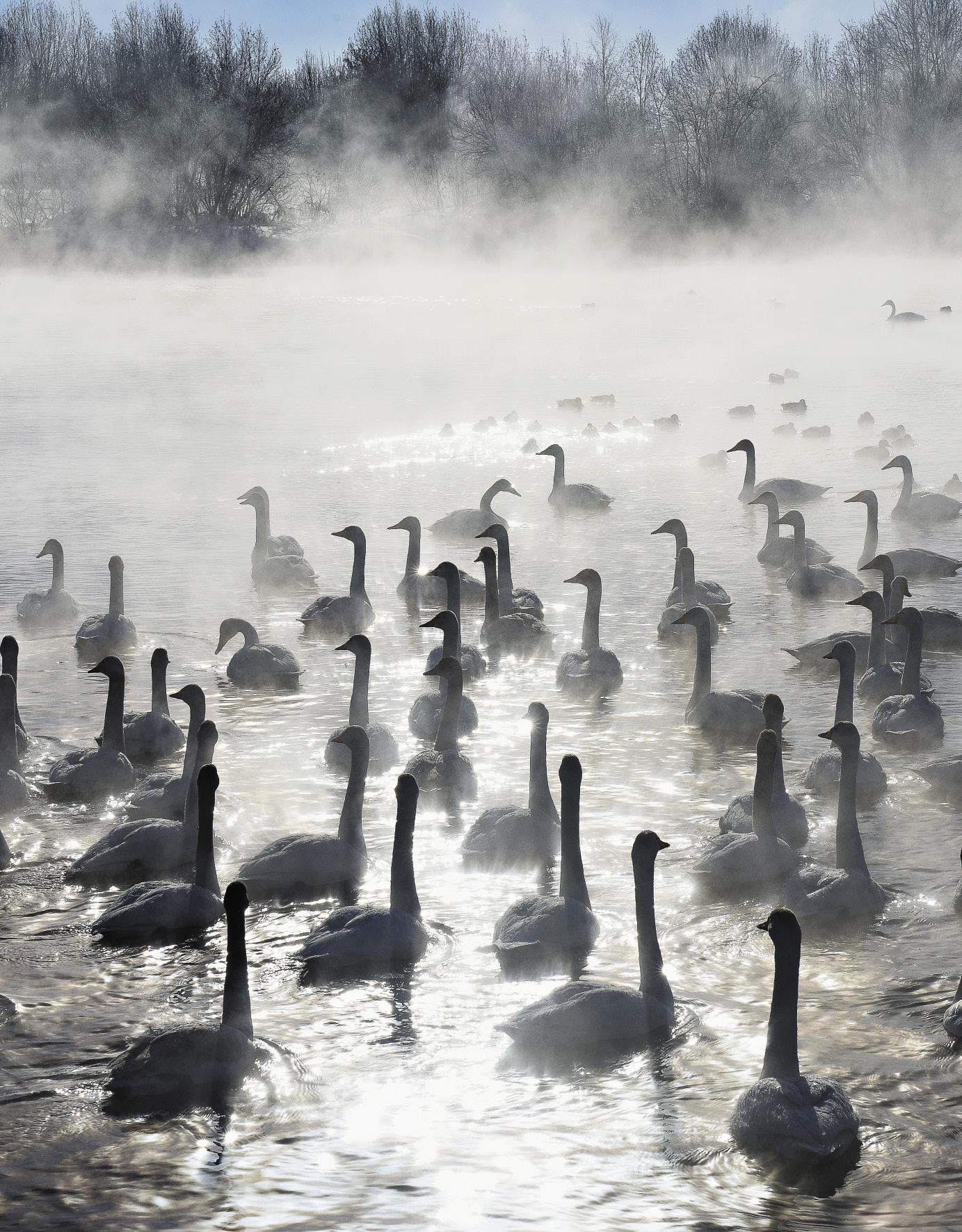 Птицы легко переносят суровые сибирские морозы. Теплые подземные ключи не дают водоему замерзнуть: когда температура воздуха переваливает за -40, в озере она +6.