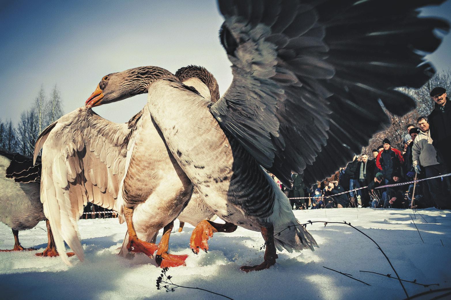 goose_fights_semen_sht_opt