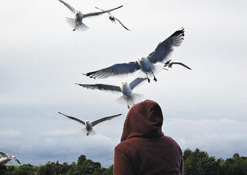 Чайки любят лететь за кораблем – он дает им постоянную пищу.