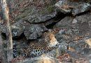 Интуристы устроили фотоохоту на дальневосточного леопарда