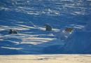 Глобальные изменения в жизни белых медведей